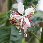 After the rain - pink flowers with drops of water by Dona Tantirimudalige