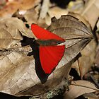 Red butterfly by Marion Joncheres