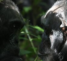 Chimps facing each other by Marion Joncheres