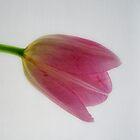 Tulip Head by Karen  Betts