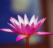 Water Lily by Rainy