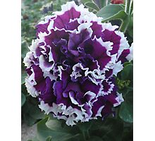 Prettily Purple & White Photographic Print