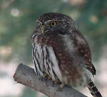 Northern Pygmy Owl by WindRiverRanch