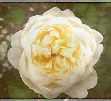 Vintage Rose by Stephanie Owen
