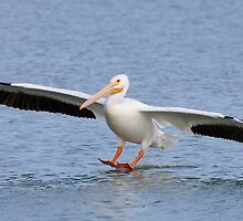 American White Pelican touching down. by Daniel Cadieux