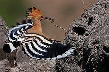 Happy Hoopoe by Martin Smart