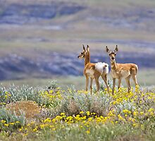 Pronghorn Twins 2 by Kim Barton