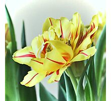 Frilly Tulip Photographic Print