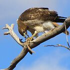 Red-tailed Hawk ~ Breakfast Ala Branch by Kimberly P-Chadwick