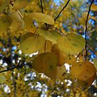 Aspen Leaves by Bellissimoyou