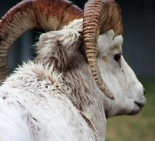 Waterton Ram by Alyce Taylor
