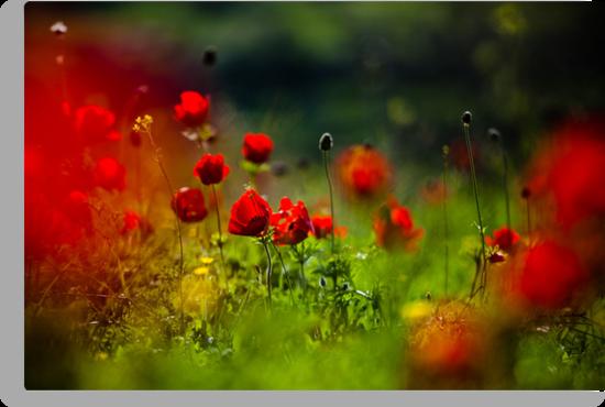 still love poppies by Victor Bezrukov