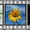 Sunflower Triptych (Click to view complete work) by Linda Lees
