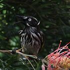 Hot Little Honeyeater by Rick Playle