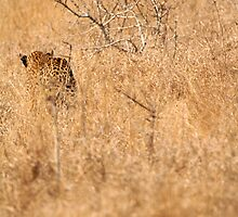 Leopard Stalking by Shawn Peach
