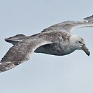 Giant Petrel, Drake Passage near Antarctica by Neville Jones