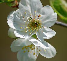 Plum Blossom by Diana Nault