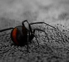 female redback spider by paul erwin