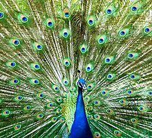 Peacock Displaying Colors by FSmith22