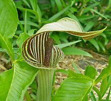 Jack-in-the-Pulpit Wildflower - Arisaema triphyllum  by MotherNature