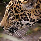 Stalking Jaguar by Timothy Meissen