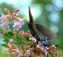 Black Swallowtail on Abelia by BLemley