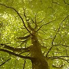The Mighty Beech by Mike  Waldron