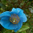 Blue Flower by ScottishVet