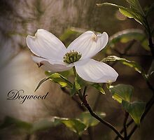 Dogwood by rasnidreamer