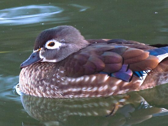 Reflections of a Lady Wood Duck by Bunny Clarke