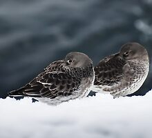 Purple Sandpiper Snow Duet, Gloucester, Massachusetts by Steve Borichevsky
