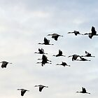 Sandhill Cranes in Flight by bozette