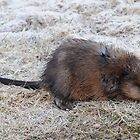 Muskrat  by bozette