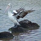 Pelican flapping in the wind - Williamstown Beach by MIchelle Thompson