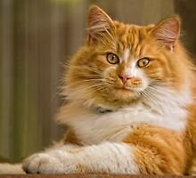 Ginger Cat by Sharon Clissold