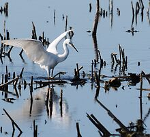 Snowy Egret by bozette