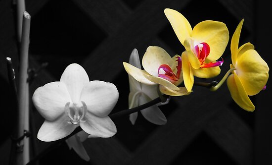 Selective Colored Orchids by Linda  Makiej