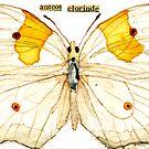Ateos clorinde (Clorinde Butterfly) by Carol Kroll