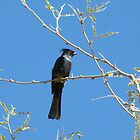 Phainopepla ~ Male by Kimberly P-Chadwick