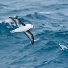 Black-browed Albatross, Drake Passage by Neville Jones