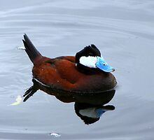 Ruddy Duck ~ Male by Kimberly Chadwick