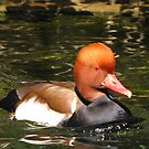 Red-crested Pochard ~ Male by Kimberly Chadwick