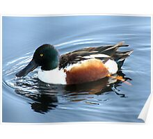 Northern Shoveler ~ Male Poster