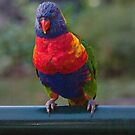 Rainbow Lorikeet digital art by Odille Esmonde-Morgan