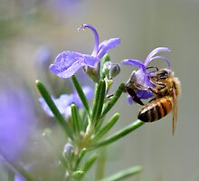 Bee in the Lavender by Edge-of-dreams