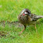 Red Wattlebird by Kerry  Hill
