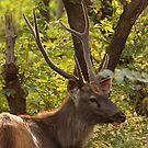 Sambar deer male, Ranthambore by Christopher Cullen