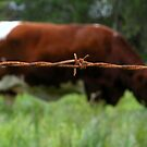 &quot;RUSTY COW&quot; Best Viewed Large by waddleudo