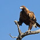 Wedge Tailed Eagle by Keith Lightbody