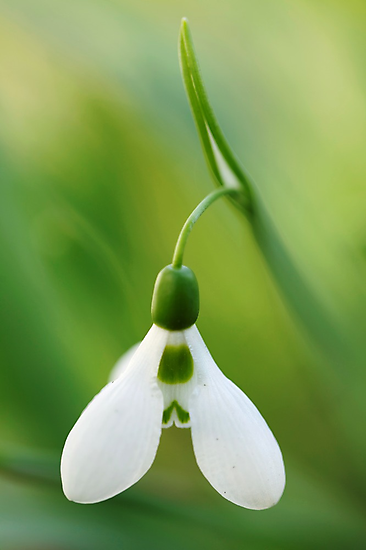 Snowdrop In A Green Sea by Hirondelles